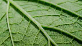 Detail macro of green leaf texture royalty free stock image