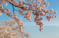 Detail macro photo of japanese cherry blossom flowers Stock Image