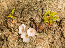 Detail macro photo of japanese cherry blossom flowers Royalty Free Stock Image