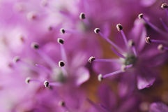 Detail or macro photography of allium giganteum pistal, flower background Stock Photos