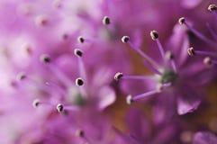 Detail or macro photography of allium giganteum pistal, flower background Stock Photos