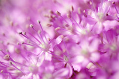 Detail or macro photography of allium giganteum pistal, flower background.  Stock Images