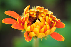 Detail Macro shot of orange Gerbera flower bud. Royalty Free Stock Images