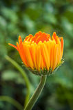 Detail Macro shot of orange Gerbera flower bud. Royalty Free Stock Photos