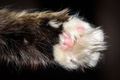 Detail macro shot of soft Cat paws black background Royalty Free Stock Images