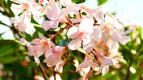 Detail macro view of Oleander latin name Nerium oleander blossom. Beautifil plant in bloom with white and pink color. Detail macro view of Oleander latin name stock footage