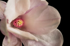 Detail of magnolia flower on a black background. A Kobus-magnolia flower just opened Royalty Free Stock Image