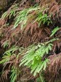 Detail of Maidenhair Fern. Detail of moist Maidenhair Fern at Fern Canyon in Redwood National Park, California Stock Image
