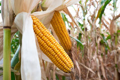 Detail of maize field Stock Photo