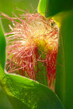 Detail Of Maize Stock Photo