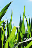 Detail of the Maize Stalk Stock Images