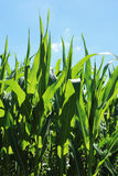 Detail of the Maize Stalk Stock Image