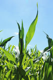 Detail of the Maize Stalk Stock Photography