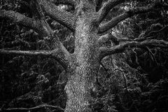 Detail of majestic oak tree in forest in black and white Royalty Free Stock Photography