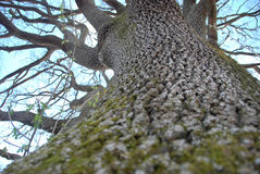 Detail of a majestic oak tree trunk Royalty Free Stock Photo