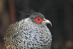 Wallich's pheasant Stock Photo
