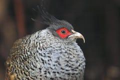 Wallich's pheasant Stock Photo