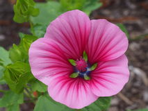 Detail of a mallow Royalty Free Stock Photography