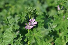 Malva sylvestris. Detail of Malva sylvestris flower on a meadow Stock Photography