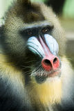 Detail of Mandrill Colorful Face and Fur Stock Photography