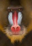 Detail Mandrill des bunten Gesichtes und des Pelzes Lizenzfreies Stockfoto