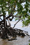 Detail of mangrove Royalty Free Stock Photography