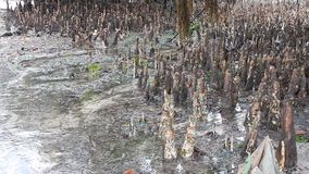 Detail of a mangrove in a low tide. In Africa stock footage
