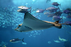 Detail of a manta ray swimming underwater
