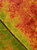 Detail of maple leaf stock photography