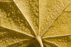 Detail of maple leaf in moisture Stock Photos
