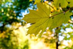 Detail of maple leaf. Detail of maple leav in the autumn park stock photography