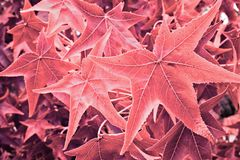 Maple leaves colorized. Detail of maple leaves red colorized royalty free stock image