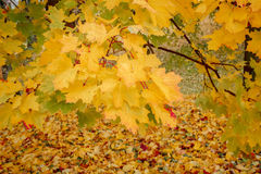 Detail of maple tree in park in autumn Royalty Free Stock Image