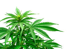 Detail of marijuana plant Stock Photo