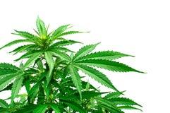 Detail of marijuana plant. Young marijuana plant isolated on white background stock photo