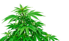 Detail of marijuana plant Stock Image