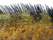 Detail of Marine Iguana Scales Stock Image
