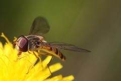 Detail of marmelade hoverfly Stock Image
