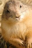 Detail of Marmot face Stock Photos