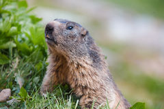 Detail of marmotte in grass, Switzerland Alps Stock Image