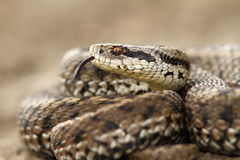 Detail of a meadow adder Royalty Free Stock Image