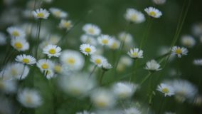 Detail of a meadow full of daisies. With macro shot that gives a very high level of detail stock video footage