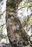 Detail of meditteranean cork tree Stock Photos