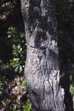 Detail of meditteranean cork tree Royalty Free Stock Photos