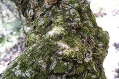 Detail of meditteranean cork tree Stock Photo