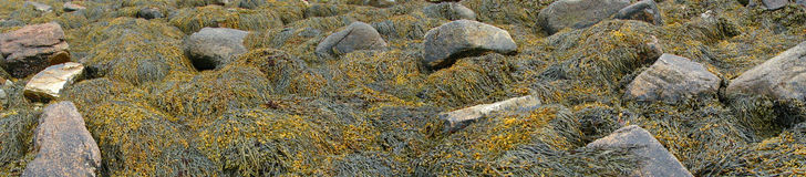 Detail, Meerespflanze und Kelp über Strandfelsen stockfoto