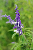 Detail of a Mexican bush sage flower bed. Mexican bush sage, Salvia leucantha, flower of the Lamiaceae family originating in Mexico and widely used in gardening stock image