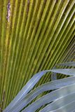 Detail of  mexican palm tree leaves stock photo