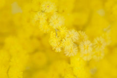 Detail of mimosa flower Stock Photography