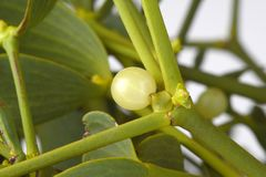 Detail of mistletoe Royalty Free Stock Images